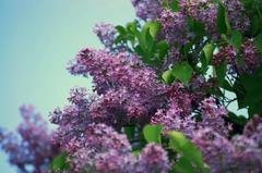 Caption: Lilac, Credit: Google Images