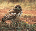 Burrowing-owl-carter-small_small