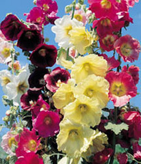 Caption: Hollyhock, Credit: Google Images