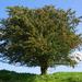 Caption: Hawthorn Tree, Credit: Google Images