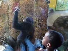 Caption: A chimp at the Lincoln Park Zoo uses a stick to fish for food., Credit: Michael De Bonis/WBEZ