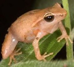 Caption: coqui frog, Credit: long haul productions