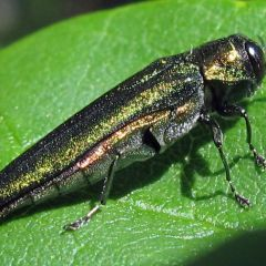 Caption: Agrilus planipennis , Credit: jlucier/Flickr