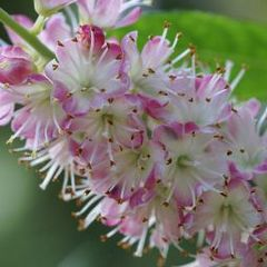 Caption: Clethra, Credit: Sericea/Flickr