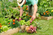 Caption: Harvesting Veggies, Credit: Google Images