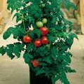 Vegetable_patio_tomato_plants2_small