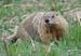 Caption: Woodchuck