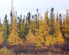 Caption: Tamaracks along the shore