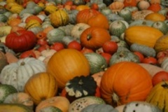 Caption: Pumpkins, Credit: Google Images