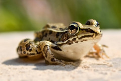 Caption: Northern Leopard Frog, Credit: Andy on Flickr (http://www.flickr.com/photos/andy_emcee/)