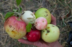 Caption: Pioneer apple varieties found along the Salmon River, Credit: Guy Hand