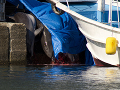 "Caption: Dolphins being butchered in Taiji, Japan. , Credit: Photo by <a href=""http://www.flickr.com/photos/taijidolphinslaughter/5304070526/in/photostream/"">Elora West</a>"