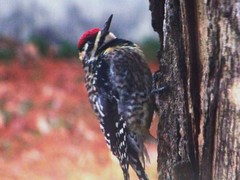 Caption: A woodpecker foraging for food in the Cache River basin in southern Illinois, Credit: Photo by Kevin Boucher