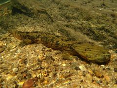 Caption: An adult Ozark hellbender is typically brown or green with black markings that help it blend in with its rocky river-bottom habitat., Credit: Jeff Briggler/Missouri Department of Conservation