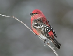 Caption: Male pine grosbeak