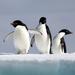 Caption: The Antarctica locals.