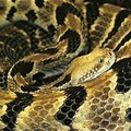 Rattlesnake_small