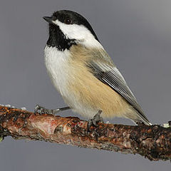 Caption: Black-capped chickadee