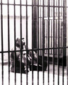 Caged_animal_black_and_white__01-1976_small