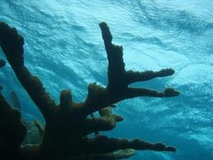 Caption: Elk horn coral in the no take zone of Glover's Reef Marine Reserve. Renata , Credit: Ferrari Legorreta | Marine Photobank