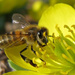 Caption: Honey Bee on Winter Aconite, Credit: Tie Guy II/ flickr