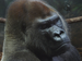 Caption: Gorilla at Lincoln Park Zoo, Credit: WBEZ/Gabriel Spitzer