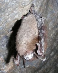 Caption: A little brown bat showing symptoms of white-nose syndrome in Greeley Mine, Vermont (April, 2009)., Credit: (Marvin Moriarity/U.S. Fish and Wildlife Service)