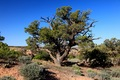 Pinon_tree_small