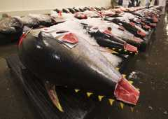 Caption: Tuna at market, Credit: Earth Times