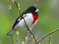 Rb-grosbeak2_small