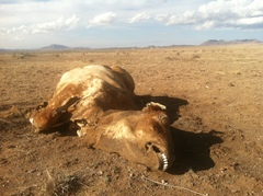 Caption: A cow lost to the drought lies in the desert of West Texas., Credit: Photo by Mose Buchele/StateImpact Texas