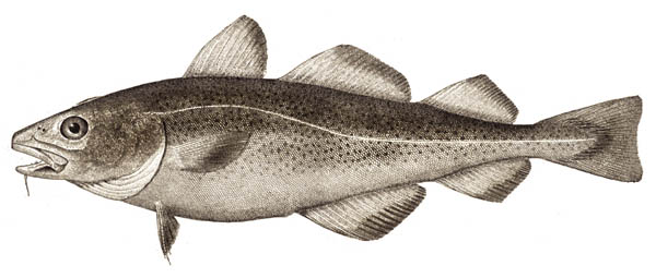 Atlantic_cod_small