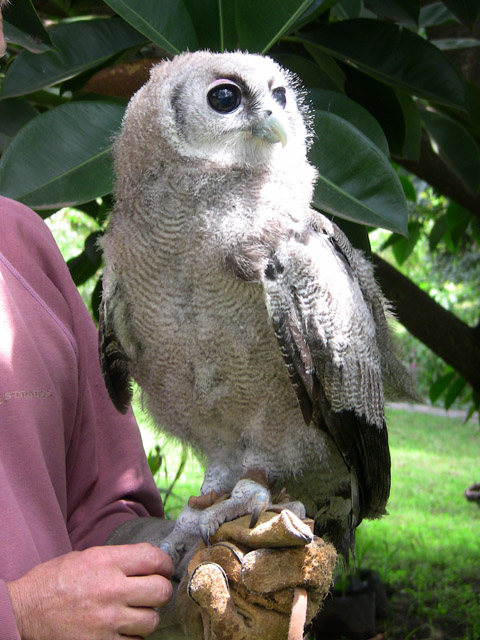Caption: Baby Verreaux Eagle Owl, Credit: Elleni Stephanou