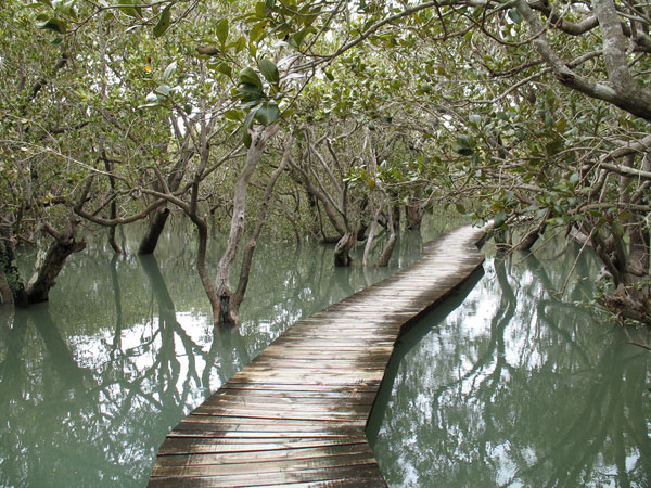 Caption: Mangroves Near Waitangi, New Zealand, Credit: Gordon and Julia Gardner