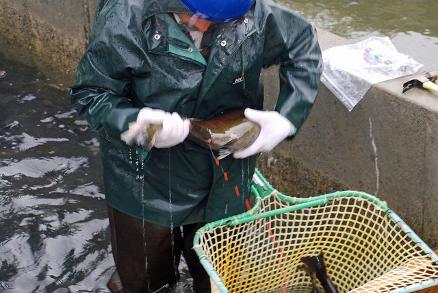 Caption: Checking out coho salmon, Credit: USFWS Pacific on Flickr