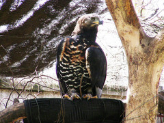 Caption: Crowned Eagle-Rosey, Credit: Elleni Stephanou