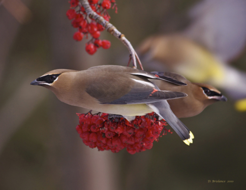 Caption: Cedar Waxwing, Credit: David Brislance