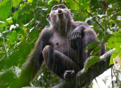 Caption: A chimpanzee sounds its call in the Goualougo Triangle., Credit: Ian Nichols