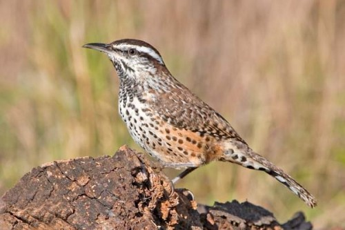 Caption: Cactus Wren, Photo courtesy of wildlifenorthamerica.com.
