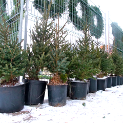 caption celebrate this season and the rest to come with a live potted christmas - Small Live Christmas Trees In Pots
