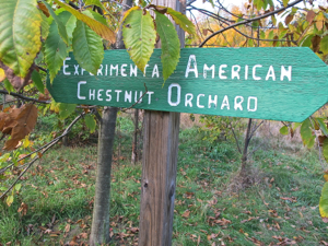 Caption: American chestnut grove in Sewickley, PA. , Credit: Hal B. Klein