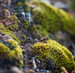 Caption: A tiny forest of hairless twisted moss, Credit: NPS photo by Neal Herbert