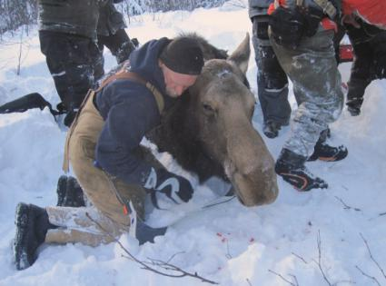 Caption: Dr. Seth Moore - radio collaring a moose at Grand Portage