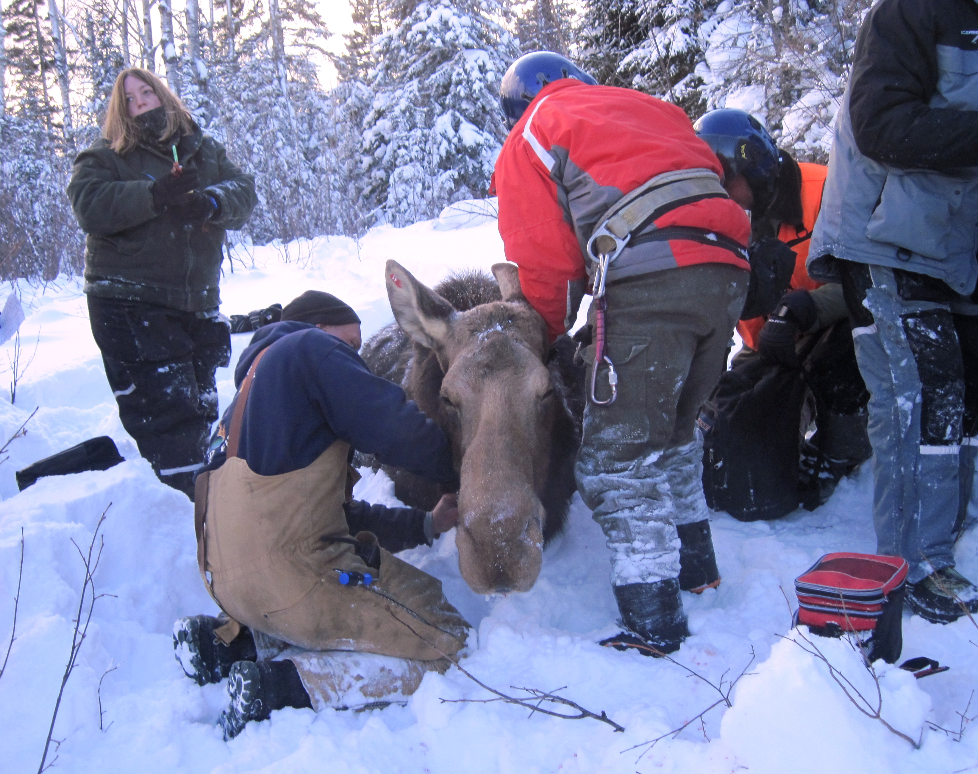 Caption: Dr. Seth Moore collects samples from a collared moose on the Grand Portage reservation in northeastern Minnesota., Credit: Grand Portage Trust Lands