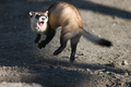 Jumping_black_footed_ferret_small