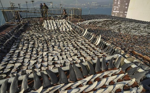 Caption: Shark fins drying in the sun cover the roof of a factory building in Hong Kong, Credit: AFP