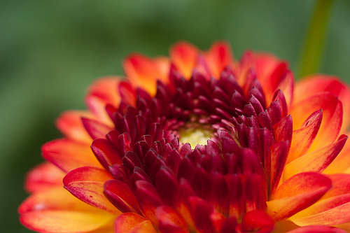 Caption: A dahlia from Julie's wedding garden, Credit: Inger Klekacz