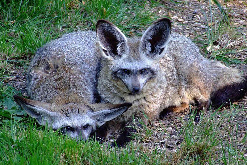 Caption: Bat-eared foxes