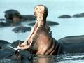 Hippo_small