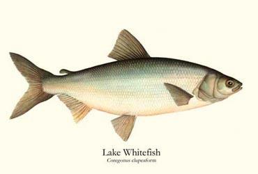 Prx for Lake superior fish